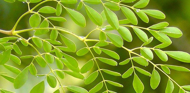 Comprar Moringa: beneficios y contraindicaciones